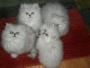 Fluffy Pewter/Chinchilla Pedigree Persian kittens