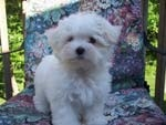Kc registered maltese puppies ready now
