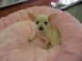 SugarNSpice Tiny Chihuahuas