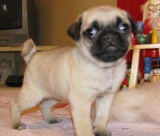 Kc pug puppies ready to go now