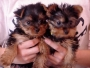 Cute yorkshire terrier puppies for good homes