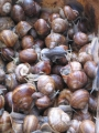 Edible snails on wholesale