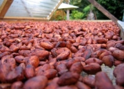 Dry fermented cocoa beans