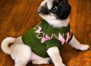 Charming pug puppies as a gifts