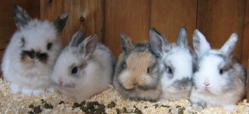 4 baby lion/lop rabbits