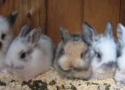 4 baby lion/lop rabbits