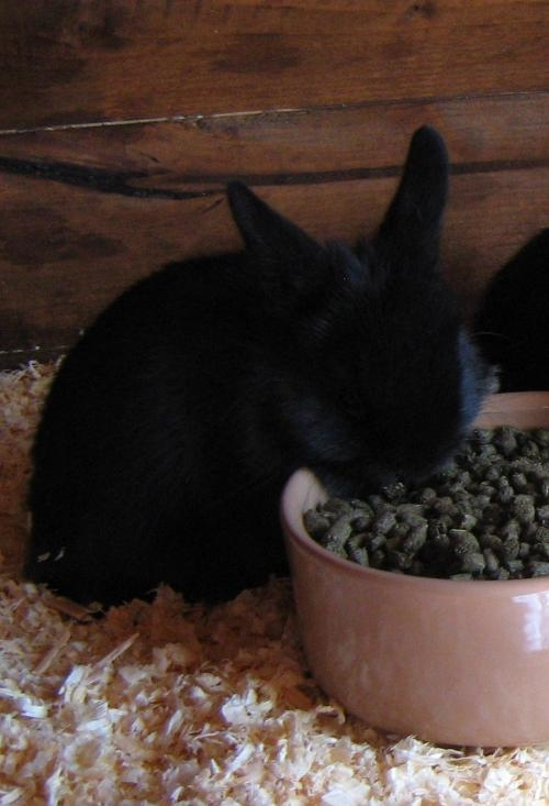 1 female neatherland baby rabbits