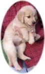 Cute Golden Retriever Puppies £350
