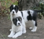 Central Asian Puppies For Sale