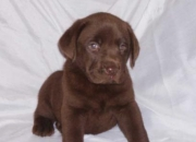 Gorgeouse kc labrador retriever puppies now available for new homes