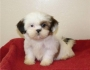 Raina is a loving little girl Shih Tzu puppy