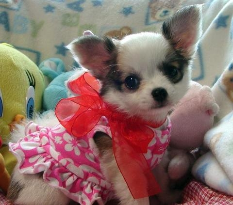 3 beautiful chihuahua puppiesfor sale