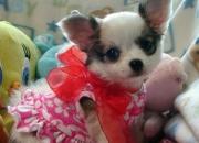 3 beautiful chihuahua puppiesfor sale
