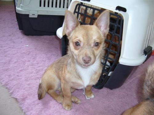 3/4 chihuahua 1/4 jack russell puppy