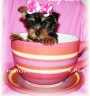 Lovely Tea Cup Yorkshire Terrier Puppies For Sale