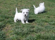Stunning west highland white terrier puppies for sale