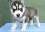 Grew and white male and female husky pups.