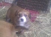 Retriever x Briard Pups For Sale.