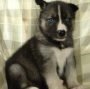 Ckc blue eyes siberian husky  puppies boys/girls available for sale