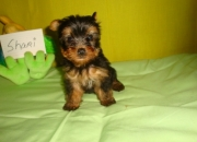 LITTERS OF YORKSHIRE TERRIER PUPPIES FOR SALE