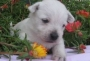 nice looking west highland trerrier puppies for sale