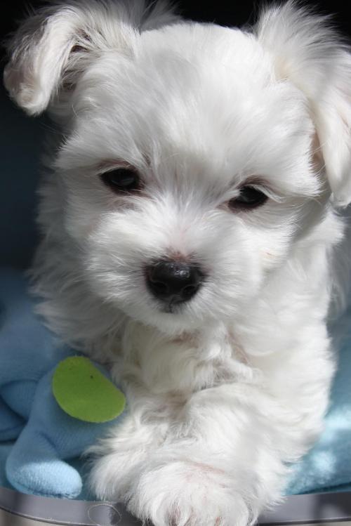 Maltese puppies for sale belfast