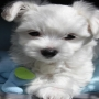 Maltese Puppies For Sale Belfast