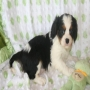 Good Hom Raise male and female Cavalier King Charles Spaniel puppies for sale