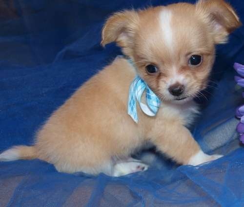 Well socialized kc reg chihuahua puppies,male & female for sale.