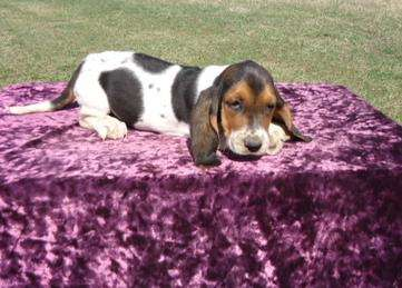 Gorgeous basset hound puppies now avaiable for sale