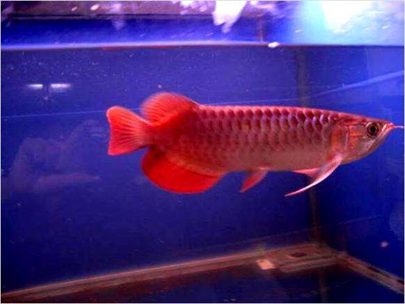 Top quality super red arowana fish for sale at a reduced price