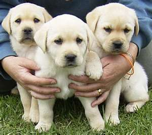 Pedigree labrador puppies looking for a loving and caring family