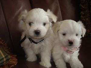 Lovely and admirable maltese puppies if interested can you just get back for more details