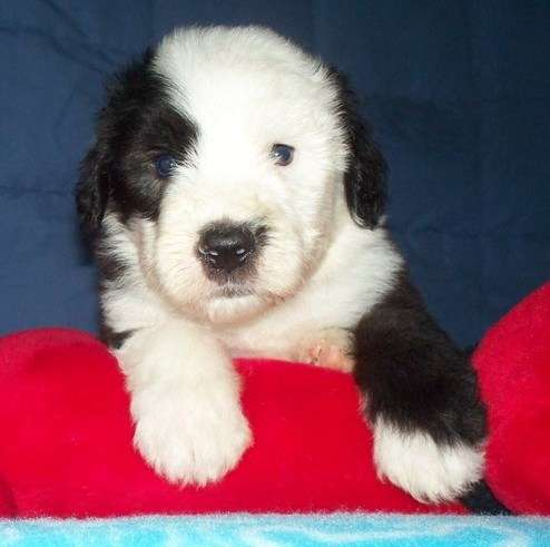 4th litter of black and white old english sheepdog puppies for sale.