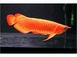 Arowana fishes available for sale now
