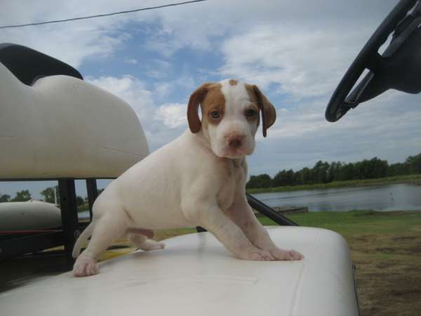 Jack russell terrier puppy ready for those interested