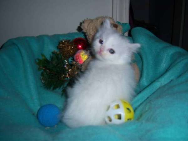 Tica registered ragdoll kittens needs new home
