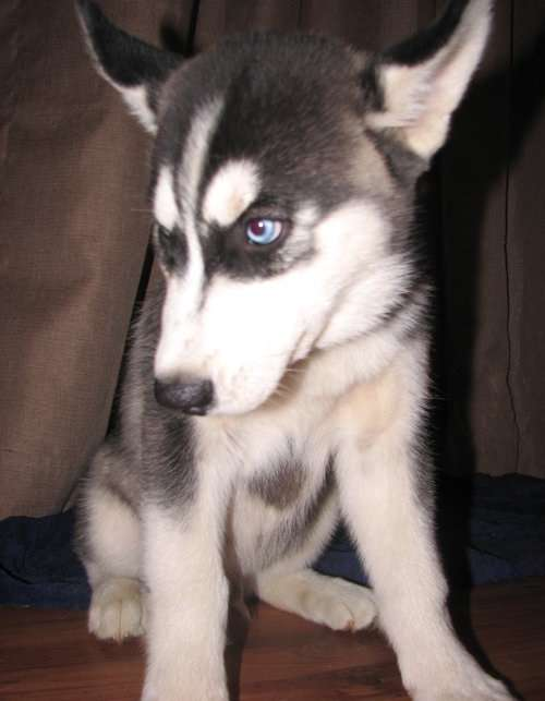 Sioberian husky puppies for sale