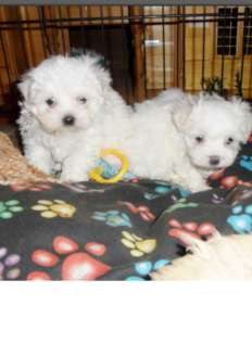 Stunning 100% pure maltese pups male and females all ready now