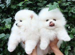 Loving pomeranian puppies for adoption