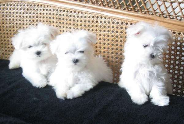 Ckc top quality, teacup maltese puppies/ ccc maltase for sale