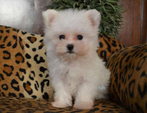 Ckc top quality teacup maltese puppy for sale