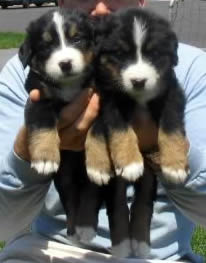 2 beautiful bernese mountain dog pups.