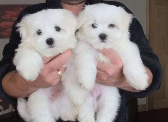 Maltese puppies with so much love to show.