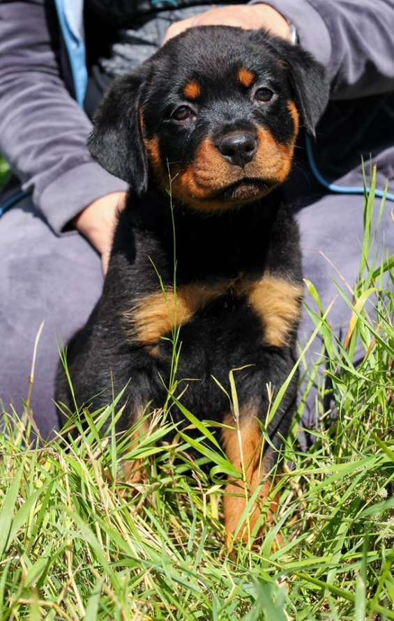 Adorable and well trained rottweiller puppies for sale