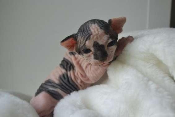 Beautiful canadian sphynx kittens pedigree