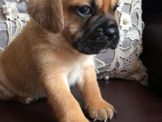 Gorgeous puggle puppies