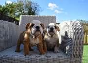 Kc reg bulldog puppies biddle