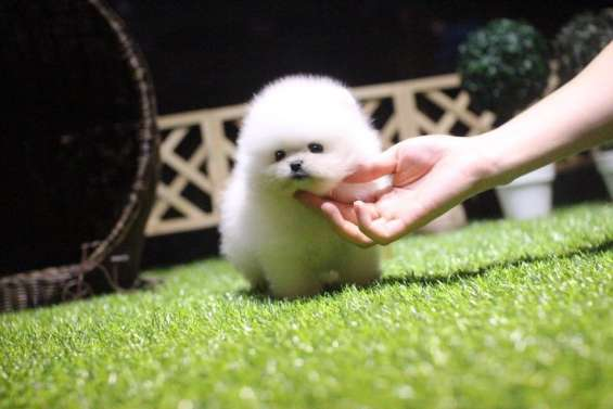 Stunning one in million teacup pomeranian